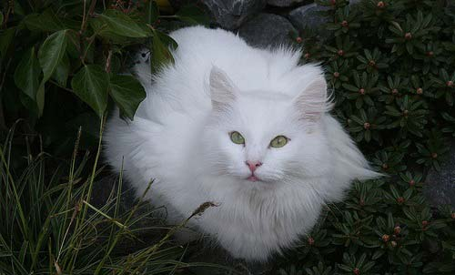 belaya-norveg-cat.jpg.pagespeed.ce._mGQ5