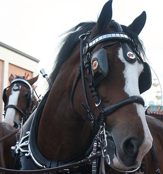 562px-Horses_2.jpg