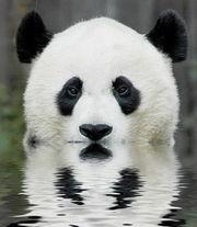 180px-Panda_sviborg.jpg