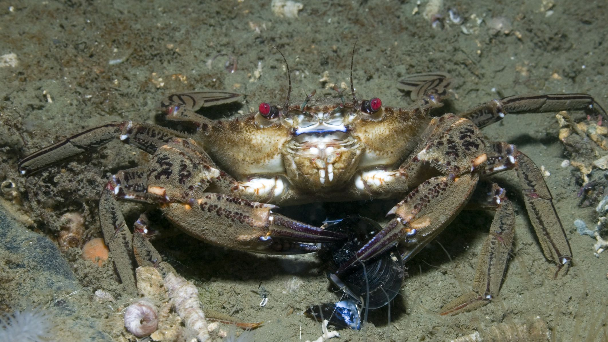 velvet-crab-eating-paulkay-getty-56a5f7a63df78cf7728abf16.jpg
