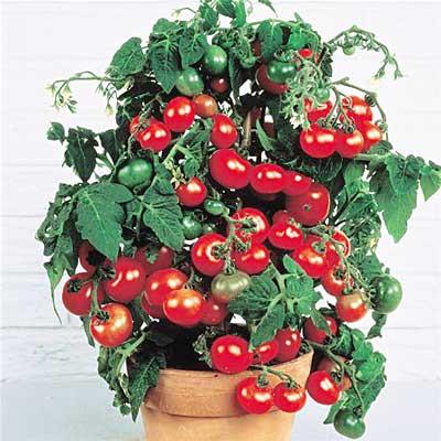 30_08_12_dekorativnii_pomidor.jpg