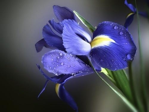 iris-jpg.jpg