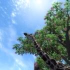 Жирафы такие проказники
