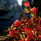 Горноцветики от Mari