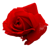 pre_1560720088__red-rose-2.png
